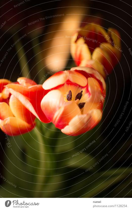 Tulips are my girl's best friends Natur Pflanze schön Sommer rot schwarz gelb Liebe Frühling Garten Lifestyle Wohnung Häusliches Leben Wachstum