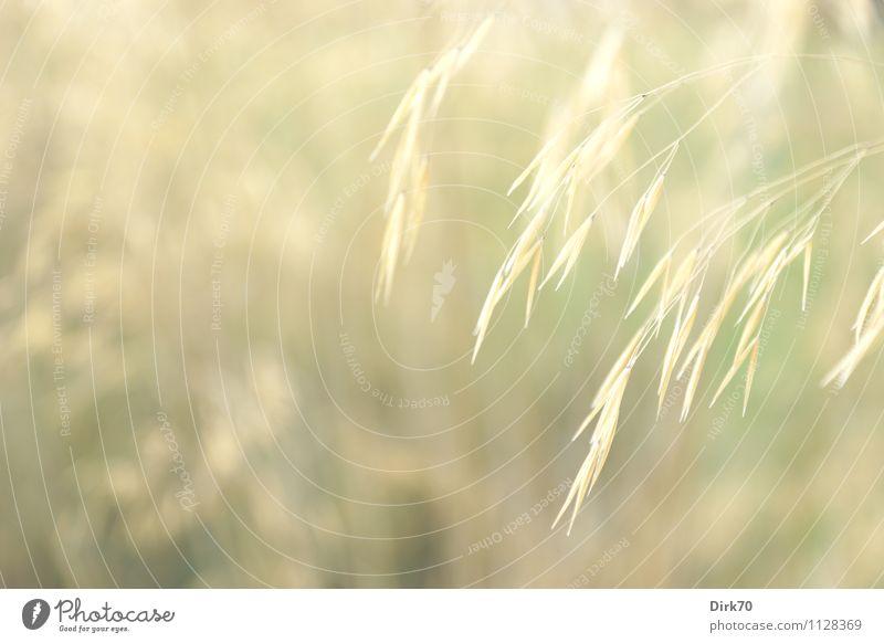 Grün, ganz zart. Umwelt Natur Pflanze Sonnenlicht Sommer Schönes Wetter Gras Grünpflanze Ähren Samen Garten Wiese träumen dehydrieren Wachstum Freundlichkeit