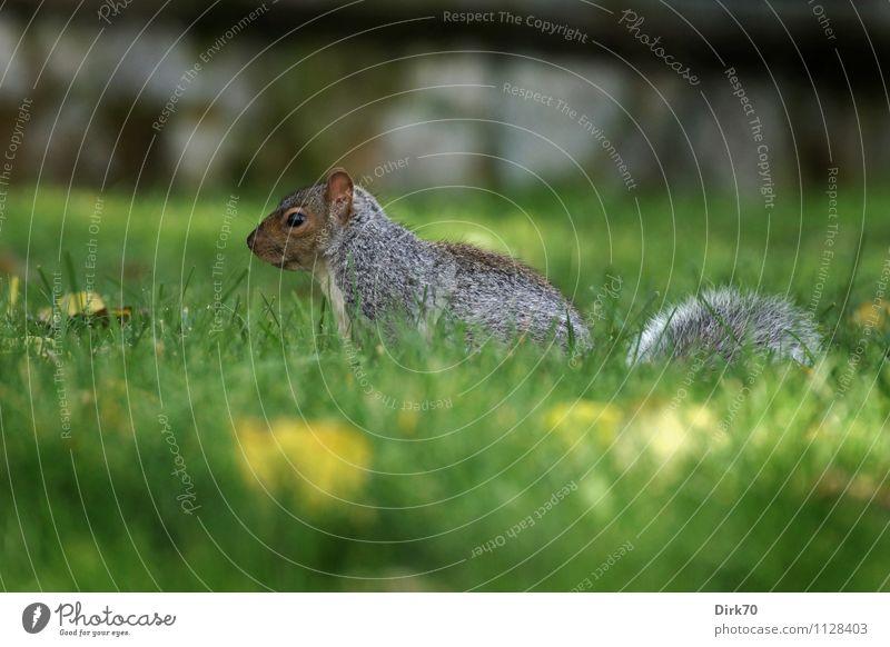 Profil eines Eichhörnchens Umwelt Natur Pflanze Tier Herbst Gras Blüte Grünpflanze Löwenzahn Garten Park Wiese Montreal Kanada Nordamerika Stadt Mauer Wand