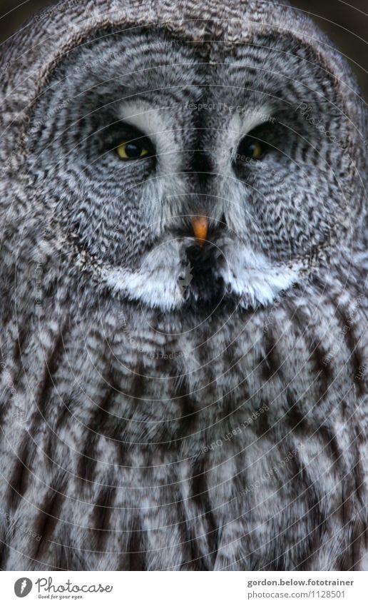 yellow eyes Natur blau Tier schwarz Vogel Wildtier beobachten Schutz Wachsamkeit gruselig silber Stolz Eulenvögel