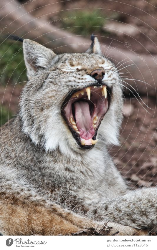 schmusekatze Katze Natur ruhig Tier Umwelt Gefühle grau braun Stimmung Zufriedenheit wild Wildtier genießen schlafen Gelassenheit Jagd