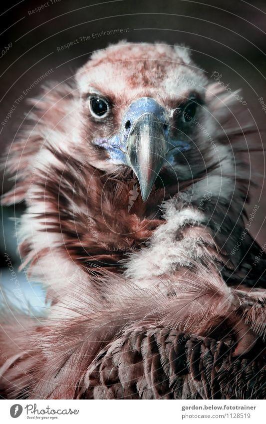 Herr Blauschnabel Ausflug Umwelt Natur Tier Vogel Zoo 1 Brunft Blick ästhetisch Coolness natürlich rebellisch seriös wild braun Kraft Geier Feder Schnabel