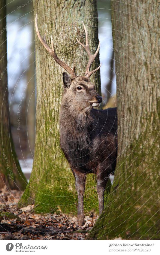 a HIRSCH Ausflug Freiheit Umwelt Natur Landschaft Tier Wald 1 beobachten Gesundheit groß nah stark wild braun Willensstärke Hirsche Wildpark Wildfleisch