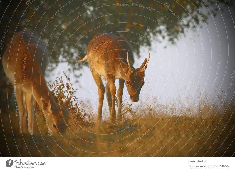 Damwild mit Instagram-Effekt Frau Natur Mann schön Landschaft Tier Wald Erwachsene Wiese Gras natürlich braun hell Park Europa
