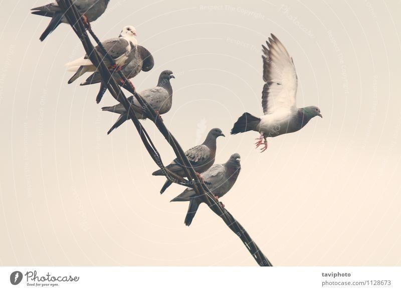 Tauben auf elektrischem Draht Freiheit Telefon Natur Tier Himmel Vogel Rudel Linie sitzen natürlich wild blau schwarz weiß Hintergrund Schwarm ruhen Reihe Kabel