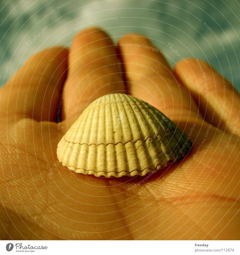 ::: Muschel ::: Umwelt Hand Wolken Finger Muster See Meer Meeresfrüchte Strand Hintergrundbild Öffnung Kalk Schmuck Makroaufnahme Nahaufnahme Erde Sand Himmel
