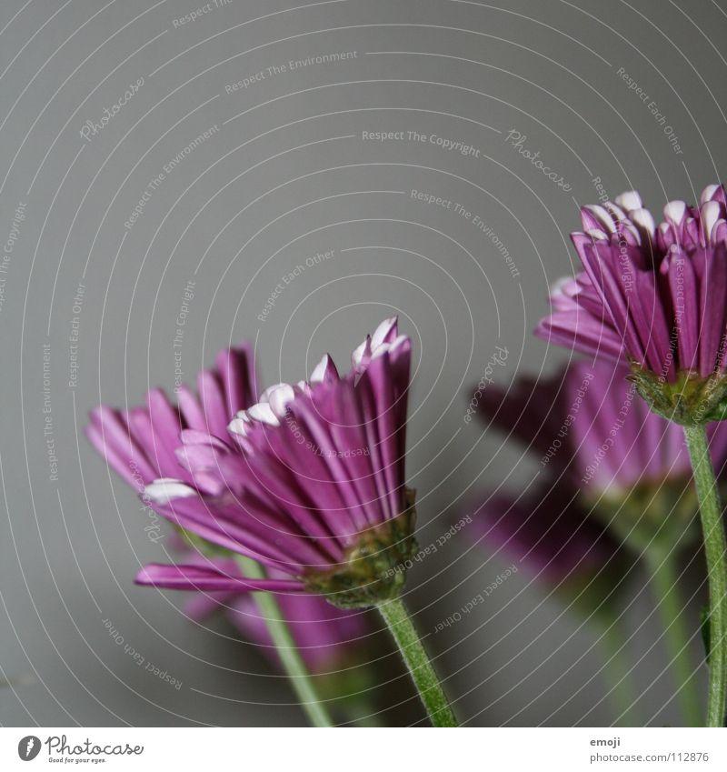 Farben ins Grau. Natur Pflanze Blume Farbe grau Frühling Wachstum neu trist Wandel & Veränderung violett Blühend Quadrat Wachsamkeit Blütenknospen