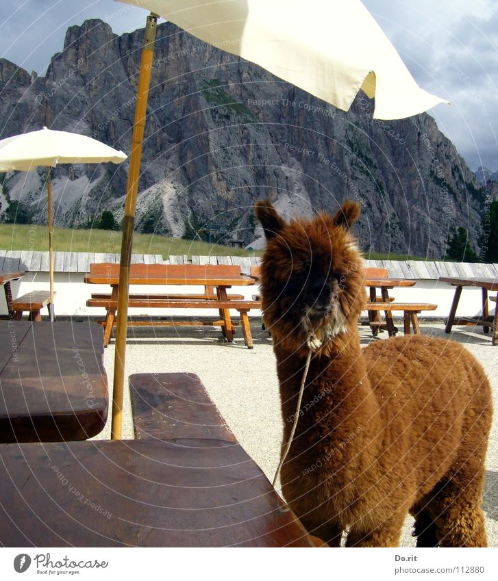 ein Alpaka auf Reisen weiß Sommer Ferien & Urlaub & Reisen ruhig Wolken Tier Erholung Berge u. Gebirge braun Tisch Bank weich Sonnenschirm Schönes Wetter