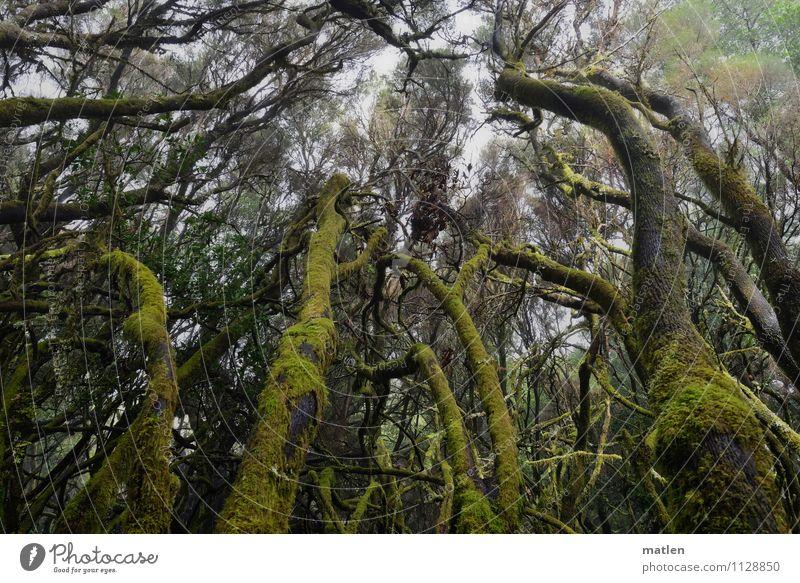Brüder zum Licht empor Umwelt Natur Landschaft Pflanze Frühling Klima Nebel Baum Moos Wald Menschenleer Wachstum braun grau grün Verhext Nebelwald Flechten