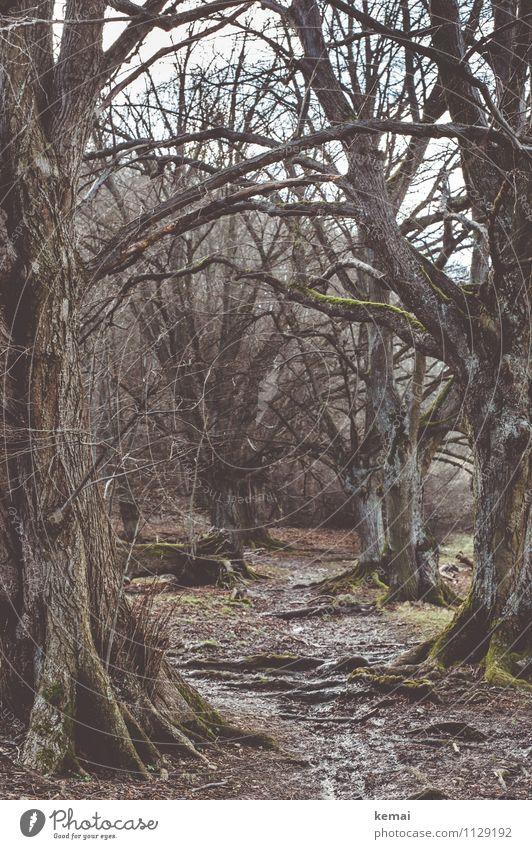 Kraft | der Bäume Umwelt Natur Landschaft Pflanze Urelemente Erde Frühling schlechtes Wetter Baum Moos Wurzel Ast Zweige u. Äste Wald Wege & Pfade alt