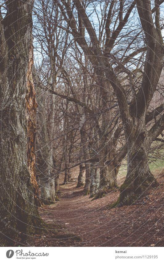 Langlebig | Bäume am Wegesrand Umwelt Natur Landschaft Pflanze Urelemente Erde Frühling Schönes Wetter Baum Wildpflanze Ast Zweig Baumstamm Baumrinde Wald