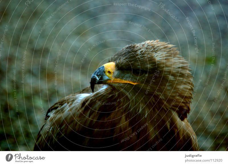 Adler Vogel Greifvogel Schnabel Feder Ornithologie Tier schön Farbe steppenadler Stolz Blick