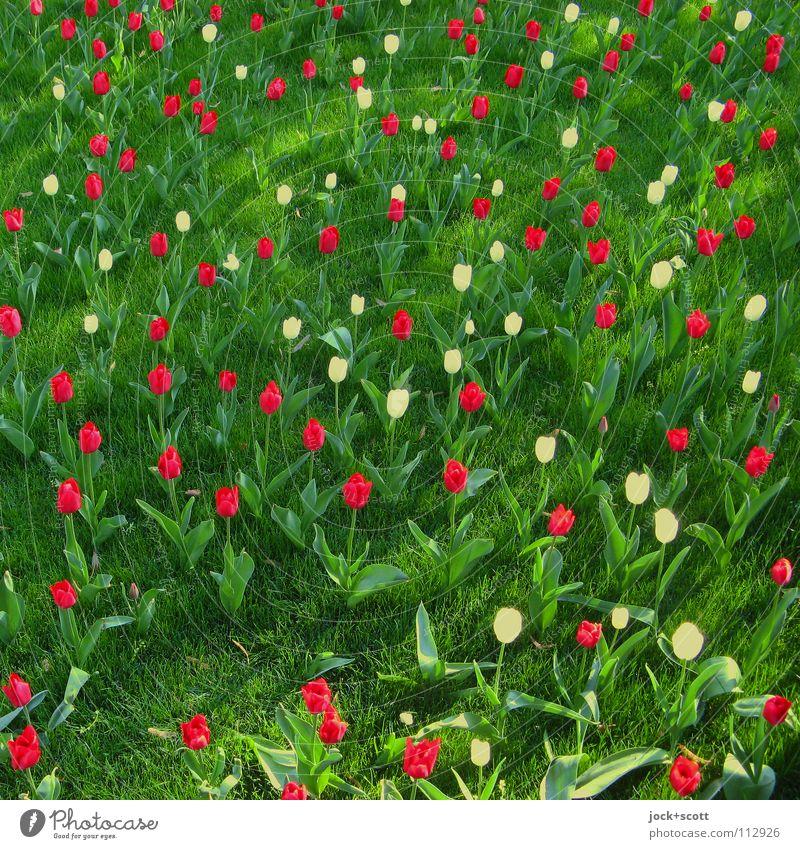 Blumen sprechen Pflanze Frühling Tulpe Park Wiese Blühend Duft träumen Fröhlichkeit frisch natürlich niedlich grün rot Stimmung Frühlingsgefühle Optimismus
