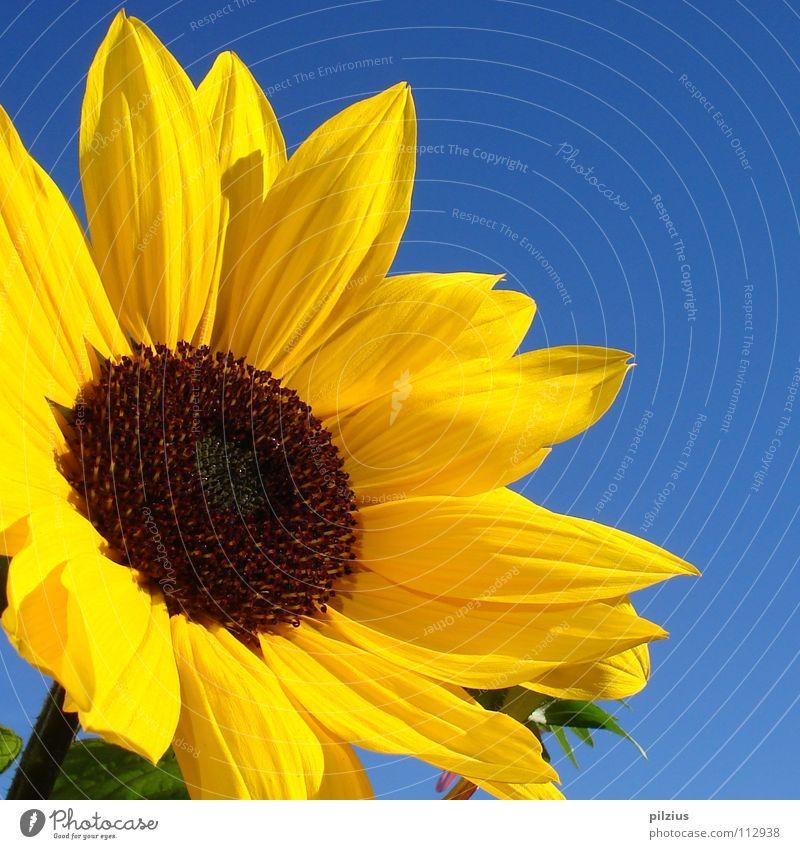 Die Sonne lacht Sommer Sonnenblume Blüte Pflanze Blume Blütenblatt