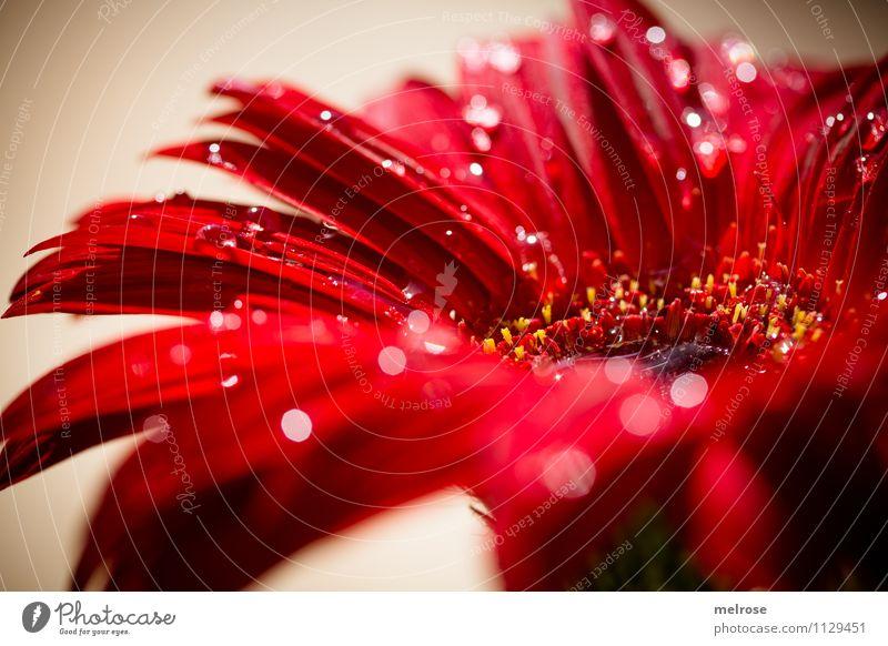 * B e a u t y * elegant Stil Makroaufnahme Valentinstag Muttertag Geburtstag Natur Wassertropfen Frühling Schönes Wetter Blume Blüte Wildpflanze Gerbera
