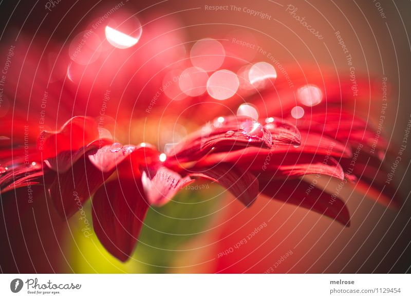 Reflexionen VIII elegant Stil Natur Frühling Schönes Wetter Blume Blatt Blüte Gerbera Korbblütengewächs blütenblattartig Blütenknospen Lichtpunkt