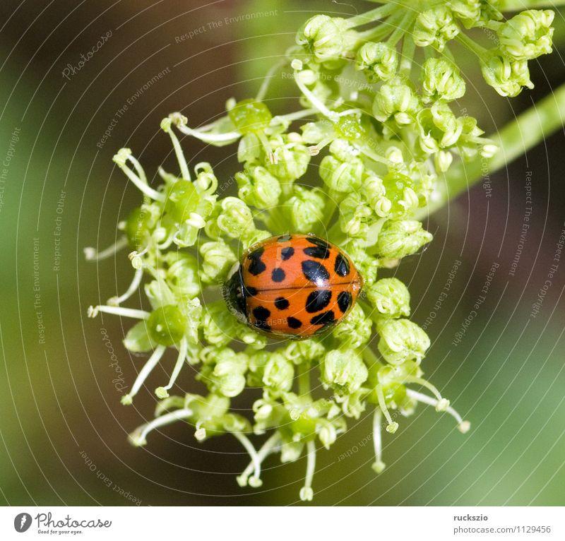 Asiatischer, Marienkaefer, Wildtier Käfer grün rot schwarz Marienkäfer Japan Harmonia axyrides Insekt 21 Punkte W-foermigen Halsschildzeichnung