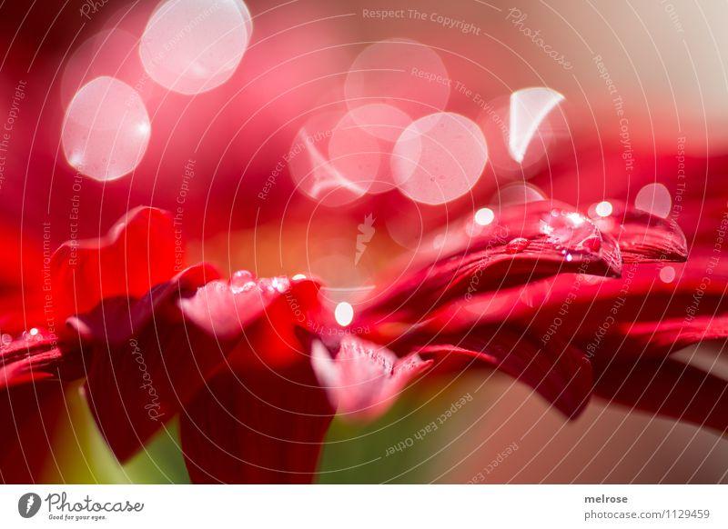 Reflexionen XII elegant Stil Natur Frühling Schönes Wetter Blume Blüte Gerbera Korbblütengewächs Blumenstrauß blütenblattartig Blütenblatt Lichtpunkt Unschärfe