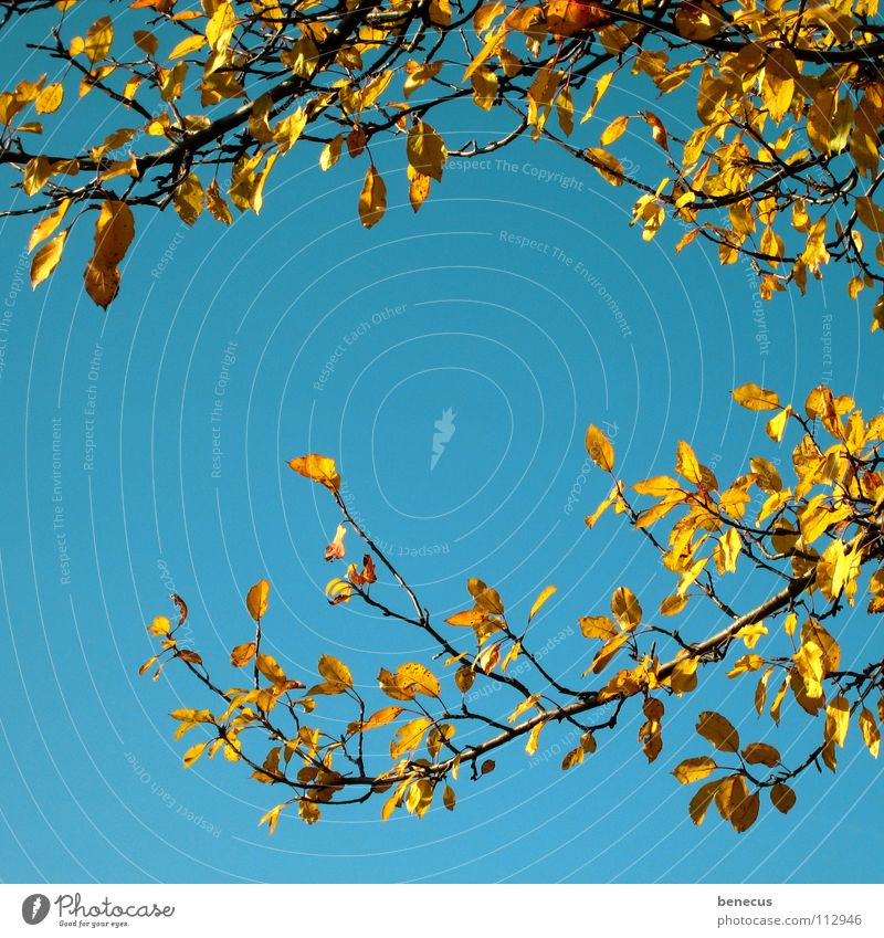 letzte Erinnerungen an den Herbst Blatt gelb türkis Baum Pflanze umrandet Bilderrahmen herbstlich Laubwerk Belaubung orange Himmel blau Zweig Ast verzwigt