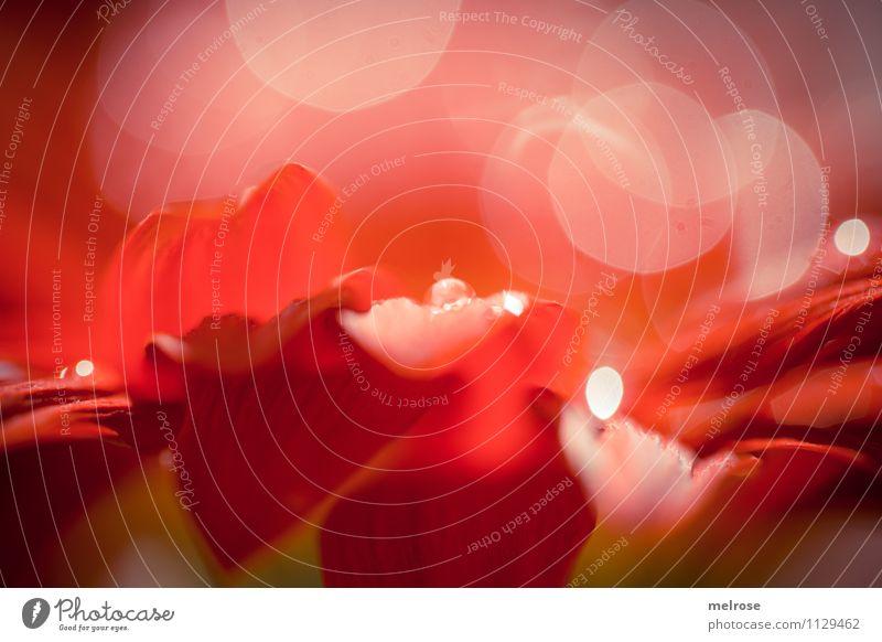 Reflexionen IV elegant Stil Frühling Schönes Wetter Blume Blüte Gerbera Korbblütengewächs blütenblattartig Blütenblatt Garten glänzend Lichtspiel Unschärfe