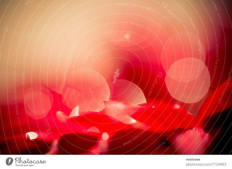 Reflexionen V schön Erholung Blume rot ruhig Frühling Blüte Stil Garten glänzend träumen leuchten elegant gold Wassertropfen Blühend