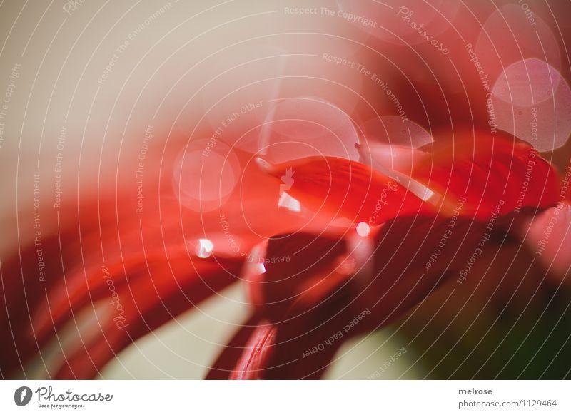 Reflexionen IX Natur schön Erholung Blume rot Blatt Gefühle Frühling Blüte Stil außergewöhnlich braun Stimmung glänzend leuchten Design
