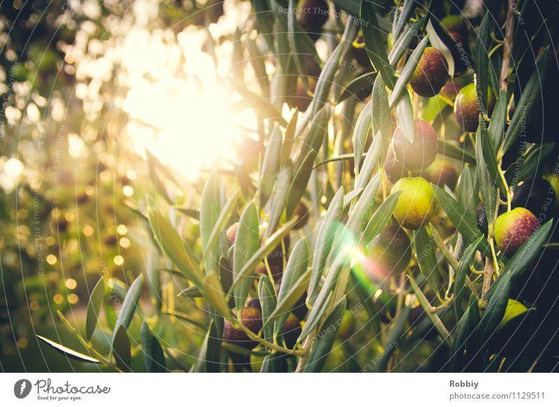 l'oliveraie Natur Pflanze grün Baum Gesunde Ernährung Gesundheit Lebensmittel Frucht Landwirtschaft Spanien lecker Ernte mediterran Griechenland maritim Oliven