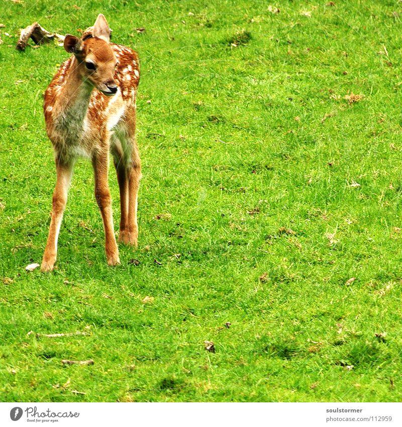 Bambi Reh Hirsche klein frisch Wiese Feld Waldlichtung Flur Halm Gras grün braun weiß Rehkitz Huf Hinterteil Schwanz stehen Säugetier Wildtier Rasen Fleck Beine