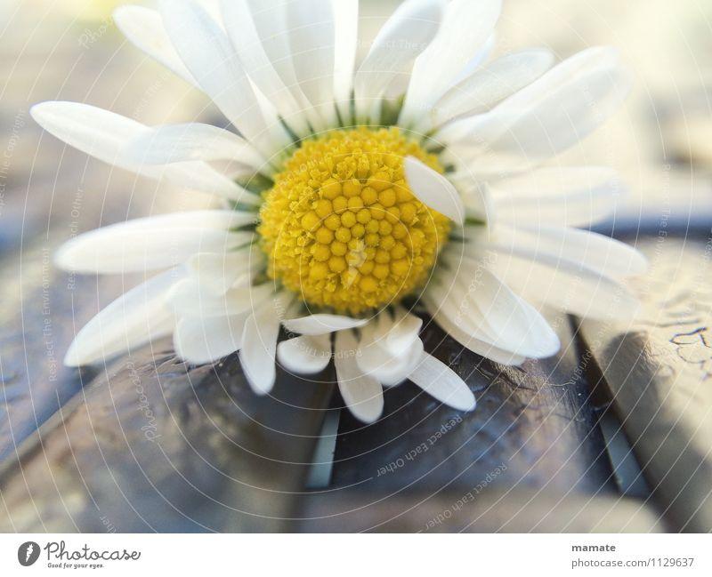 Delicate daisy Natur Pflanze weiß Blume ruhig Frühling Blüte Garten Zufriedenheit ästhetisch Sauberkeit Romantik Wohlgefühl Duft Reinheit Frühlingsgefühle
