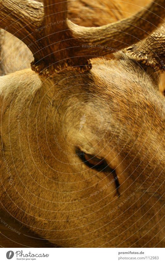 Auge in Auge mit einem (nicht mehr lebendigen) Hirsch. Foto: Alexander Hauk Tier Hirsche Jäger Horn Kopfschmuck Fell Säugetier Jagd Jagdsport Tiere Reh Wild