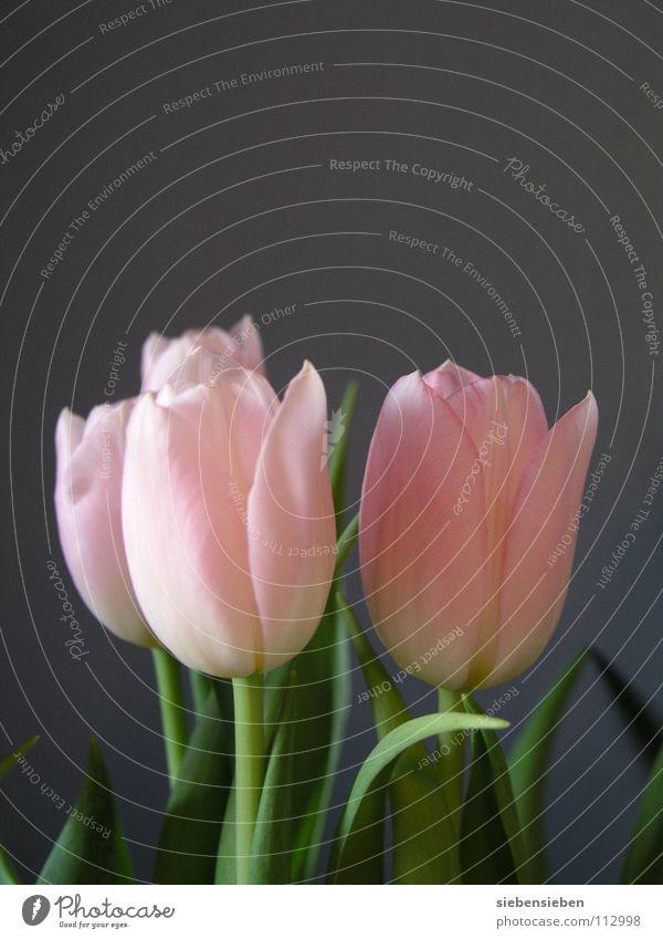 la tulipe schön Blume Blüte Frühling grau Wohnung Dekoration & Verzierung elegant Vergänglichkeit Blumenstrauß Tulpe