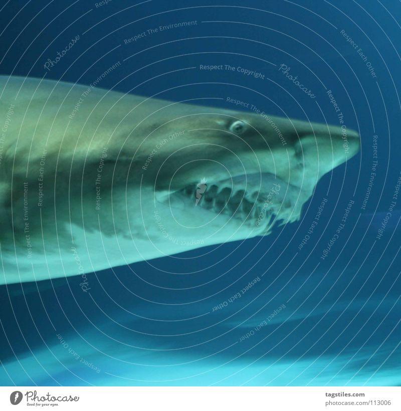 HACKFRESSE blau Meer grau Nase Fisch gefährlich bedrohlich Gebiss Fressen Schnauze Haifisch Tier Kiefer Fleischfresser Raubfisch