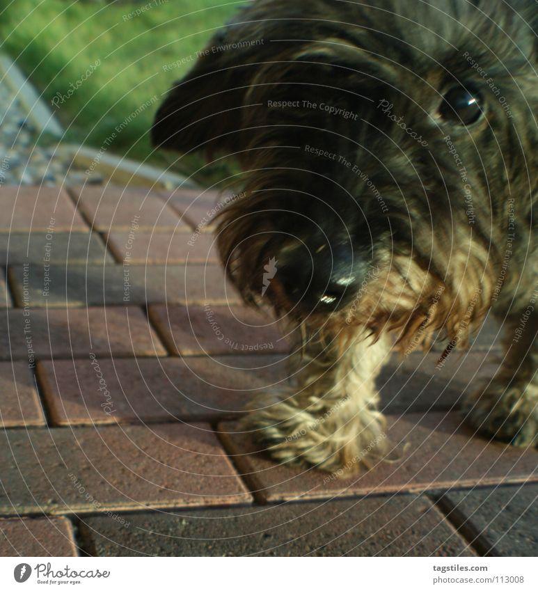 KNOPFAUGE Knopfauge Dackel Hund Locken Treue Spitzel Schnauze Säugetier Vertrauen Entertainment Konopfauge Auge Rauhhaardackel tagstiles Blick schnüff