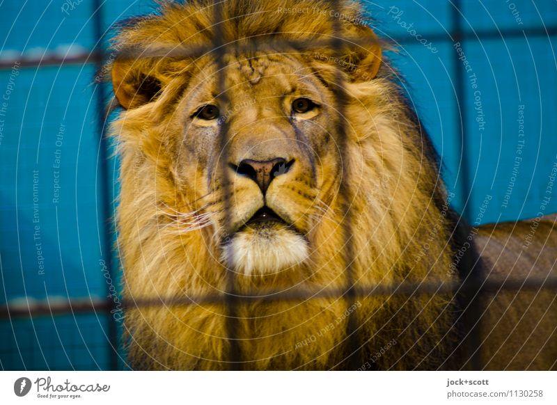König 13XX hinter Gitter Erholung ruhig Tier Ferne Linie Zufriedenheit Kraft warten groß beobachten Schutz Sicherheit Gelassenheit Konzentration Wachsamkeit