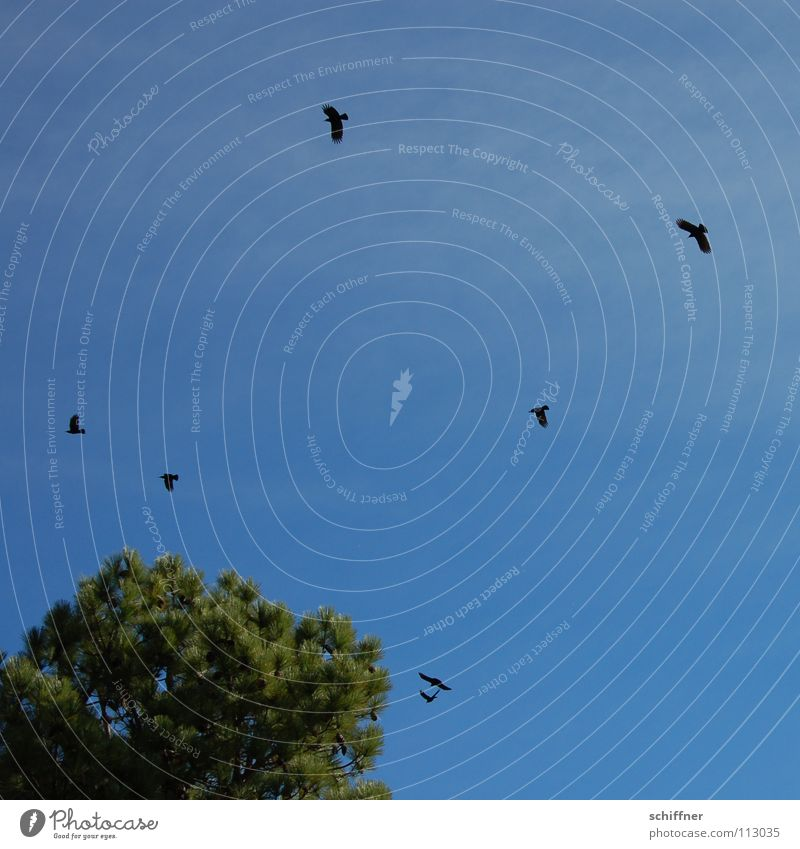 Grajas gleiten kreisen Krähe Nadelbaum La Palma Kanaren Vogel Craja Crajas Bergdole Dole Endemiten endemisch Schwarze Vögel fliegen Luftverkehr krächzen Kiefer