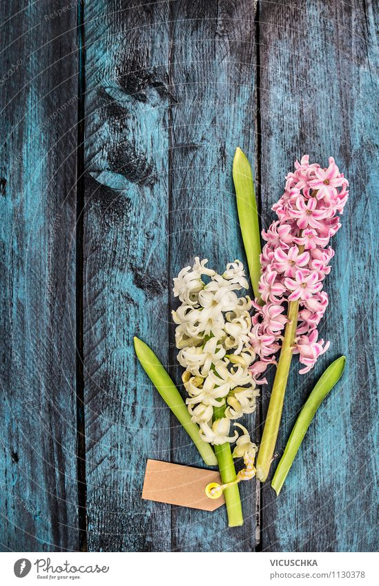 Hyazinthe auf blauem Holztisch Natur alt blau Pflanze weiß Blume Freude dunkel Frühling Stil Glück Feste & Feiern rosa Design Dekoration & Verzierung elegant