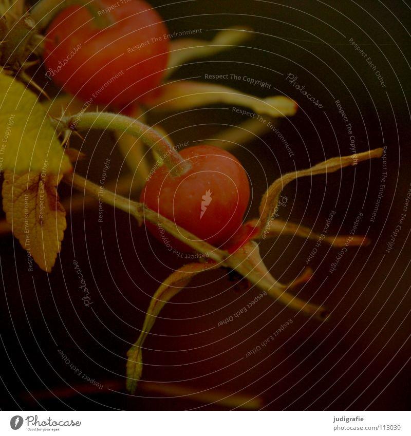 Hagebutte 2 Sträucher Kartoffelrose dunkel Herbst schrumplig Falte Umwelt Pflanze Romantik Wachstum gedeihen Heilpflanzen Farbe Zweig hägen hiefe hiffen hiften