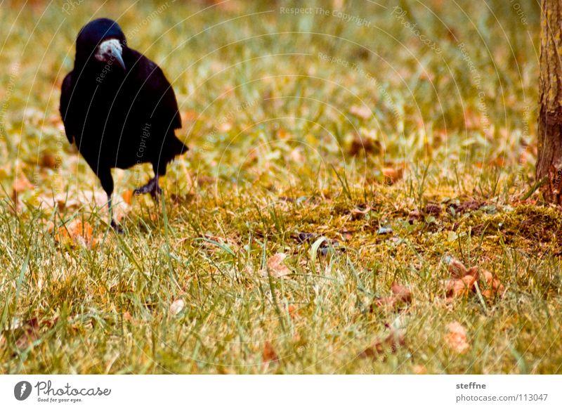 Herbstspaziergang Vogel Rabenvögel Krähe schwarz weiß gelb grün rot Spaziergang Wiese Gras Baum Physik kalt ruhig Einsamkeit Feder Schnabel unterwegs bird