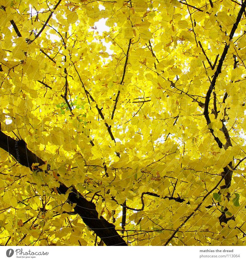 GELBSUCHT Baum Pflanze Lebewesen Blatt verzweigt Leben Blätterdach Wald Mischwald Herbst Laubbaum Holz schwarz gelb braun Licht Froschperspektive Park Natur