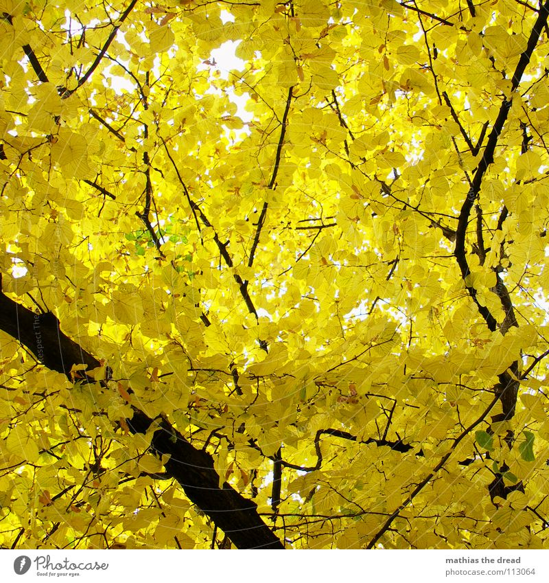 GELBSUCHT Natur Baum Pflanze Blatt schwarz gelb Wald Leben Herbst oben Holz Park braun hoch Ast Lebewesen