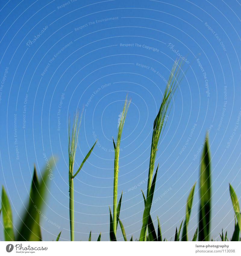 Groß, größer am größten groß Reifezeit Wachstum gedeihen aufsteigen Karriere klein Dinge Gerste Weizen Roggen Ähren Feld Wiese Landwirtschaft Bauernhof Wind