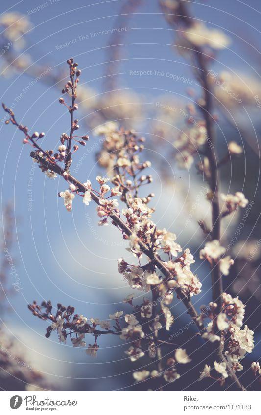 Himmelblaurosé. Umwelt Natur Pflanze Frühling Sommer Schönes Wetter Baum Sträucher Blüte Zierpflaume Garten Park Blühend Wachstum Duft schön Kitsch nachhaltig