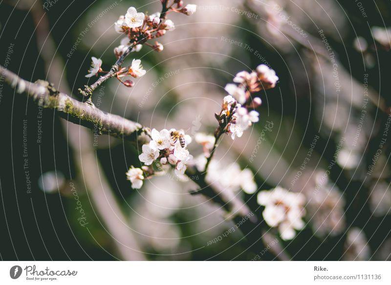 Neuanfang. Umwelt Natur Pflanze Frühling Sträucher Blüte Garten Park Blühend verblüht Wachstum schön natürlich ästhetisch Duft Vergänglichkeit Holz Ast rosa