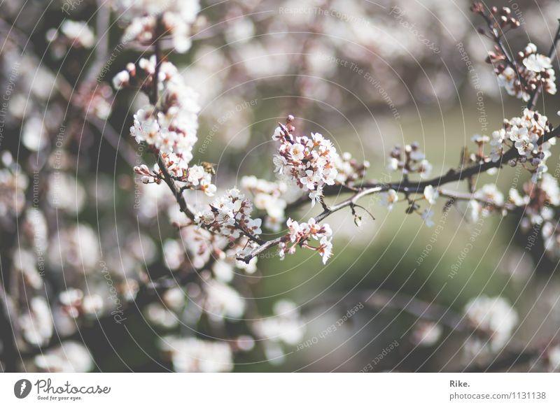 Blütenzeit. Umwelt Natur Pflanze Frühling Schönes Wetter Baum Blatt Zierpflaume Garten Park Blühend Duft Wachstum ästhetisch schön Kitsch nachhaltig natürlich