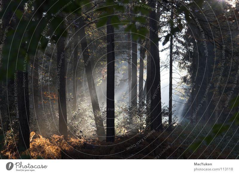 Sonnenstrahlen im Wald Baum Herbst Holz Wärme Seil Sträucher Strahlung Sonnenlicht mystisch Echte Farne Unterholz Holzmehl Lichtblick