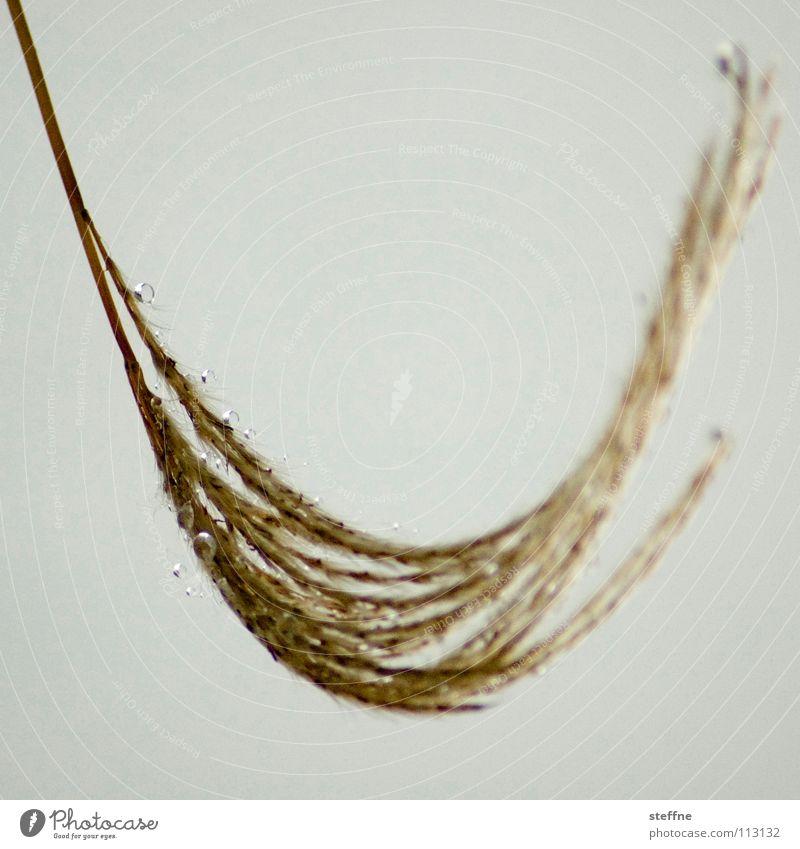 Hängematte Schilfrohr Grünpflanze Pflanze Gras trist Schwerkraft Schwerelosigkeit gekrümmt Ähren gelb Gold Erholung Herbst Wassertropfen Natur Seil Morgen