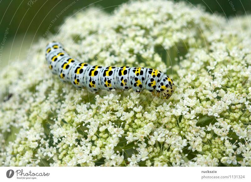 Raupe, Schwalbenschwanz, Wildtier Schmetterling Fressen Papilio machaon Tagfalter Insekt Edelfalter Fleckenfalter Edelschmetterling Caterpillar swallowtail