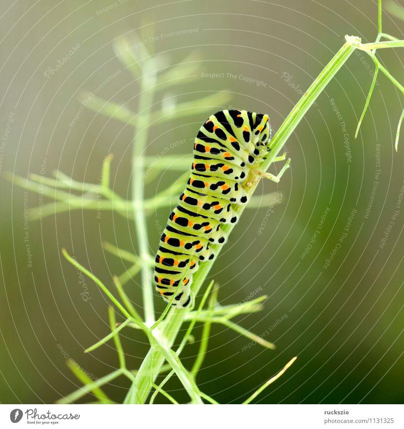 Raupe, Schwalbenschwanz, Schmetterling Fressen Papilio machaon Tagfalter Insekt Edelfalter Fleckenfalter Edelschmetterling Caterpillar swallowtail butterfly
