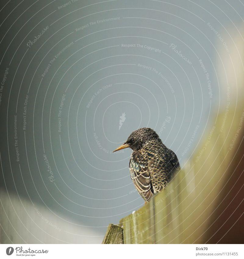 Spitzig Häusliches Leben Garten Umwelt Tier Sonnenlicht Frühling Schönes Wetter Mauer Wand Schaukel Zaun Holzzaun Wildtier Vogel Star Zugvogel Singvögel 1