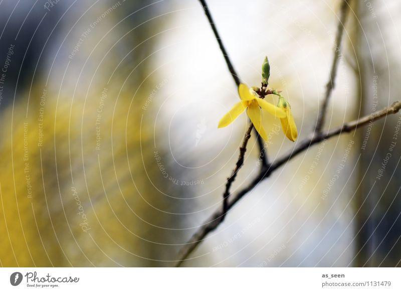 Forsythie Leben Umwelt Natur Pflanze Luft Frühling Klima Blüte Forsythienblüte Forsithie Ast Zweig Garten Park Blühend leuchten schaukeln Wachstum ästhetisch